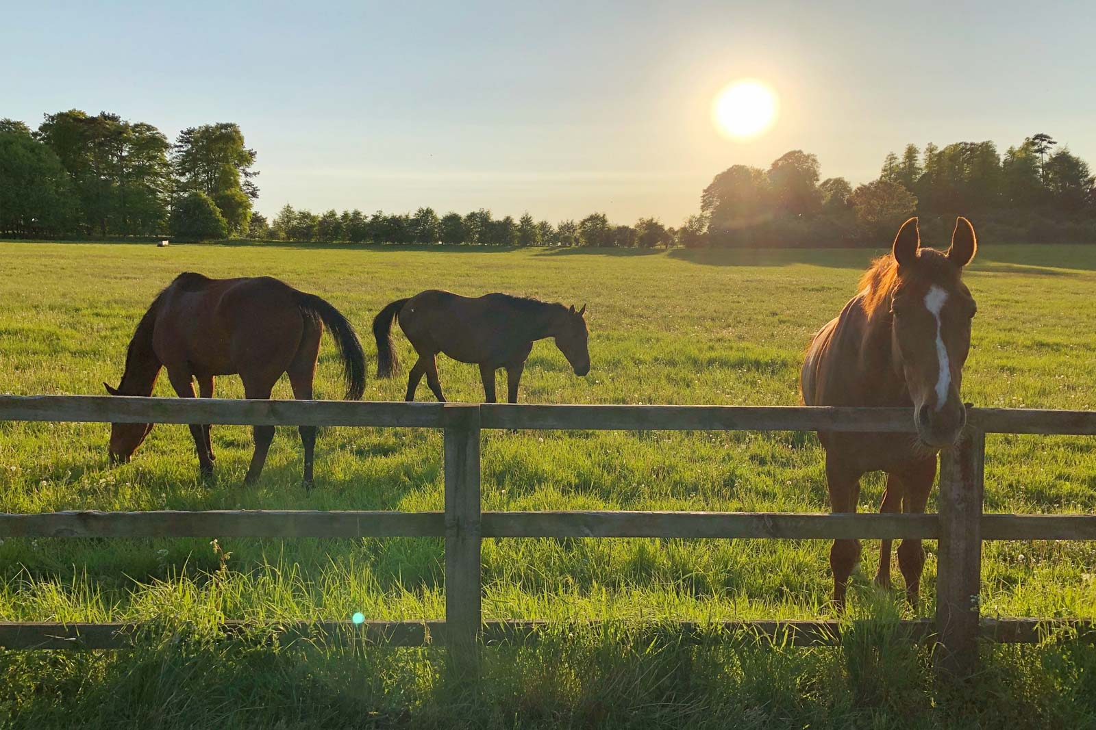 Horses in pasture at sunset.